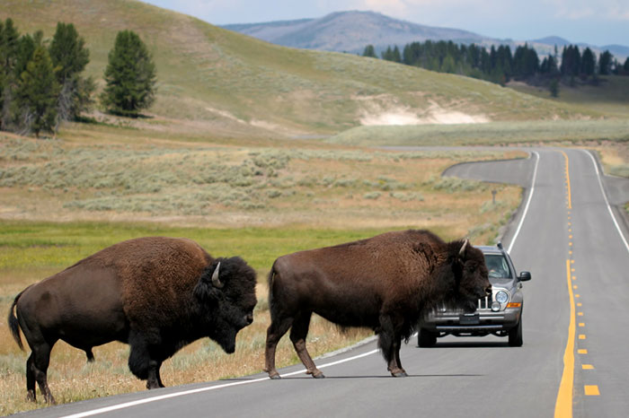 Bison Crossing The Road In Yellowstone Small 72Dpi