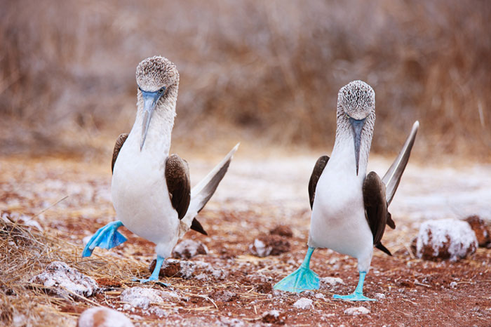 Blue Footed Boobies Doing Mating Dance Small 72Dpi