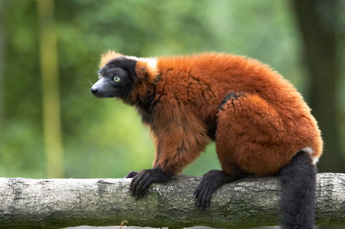 Red Ruffed Lemur Small 72Dpi