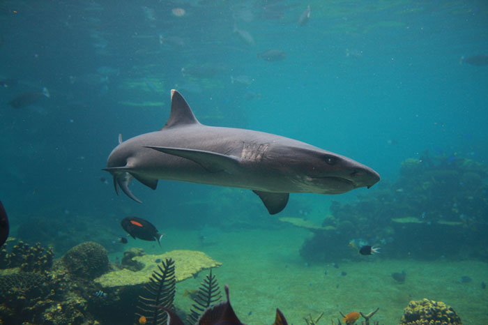 White Tip Reef Shark Small 72Dpi